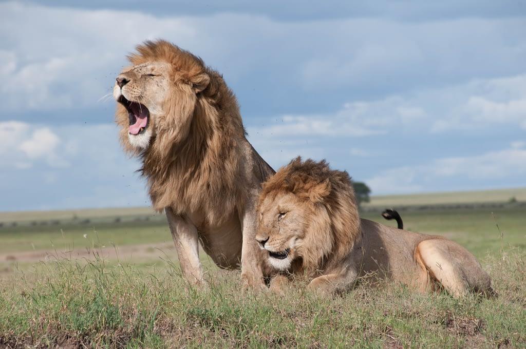 Lions software partner